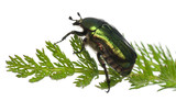 Rose chafer, Cetonia aurata, on plant poster