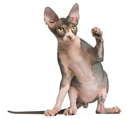 Sphynx kitten, 4 months old, sitting