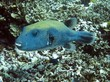 Blue Spotted Pufferfish - Arothron caeruleopunctatus
