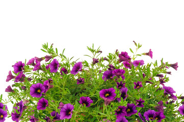 Petunia, Surfinia flowers over white background