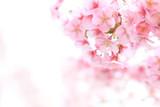 ピンクが綺麗なヒガンザクラ