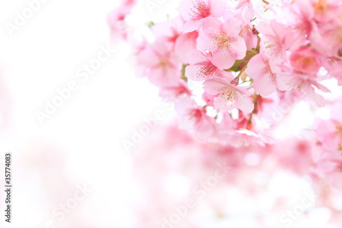 Fotobehang Kersen ピンクが綺麗なヒガンザクラ