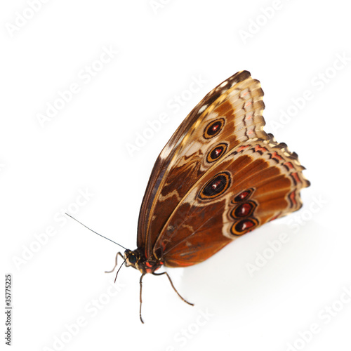 blue morpho isolated