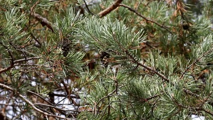 The coniferous tree branch shakes on a wind.