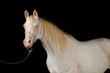 cremello welsh pony mare