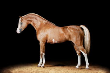 flaxen chestnut pony studio shot