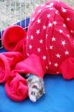 A ferret sleeping in a sack