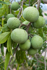 Sapote on a tree