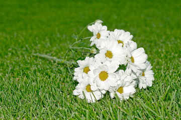 White chrysanthemum on the grass