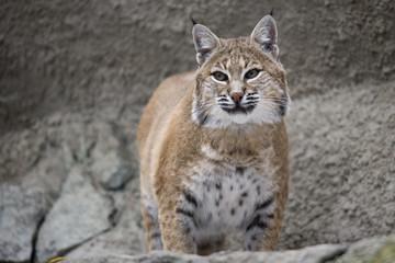 Portrait Lynx sitting on a rock
