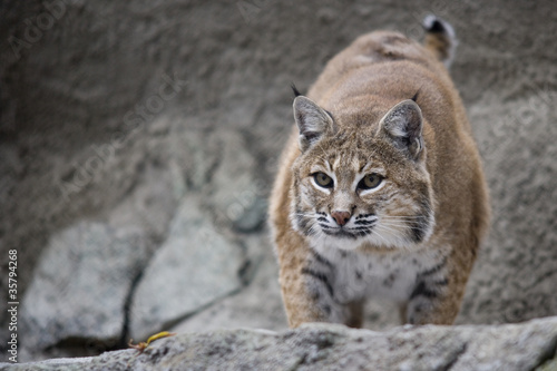 Portrait Lynx sitting on a rock