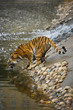 Siberian tiger for a walk