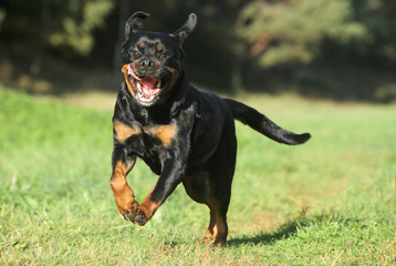Rottweiler on green lawn