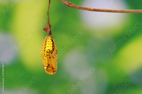 golden chrysalis