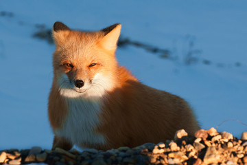 Red Fox. Vulpes vulpes