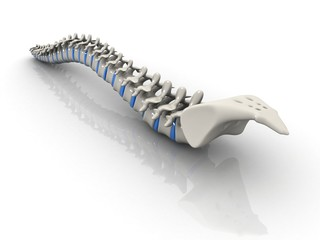 Human spine isolated on white background
