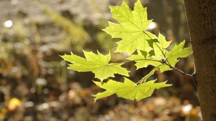 Branch of beautiful autumn maple leaves