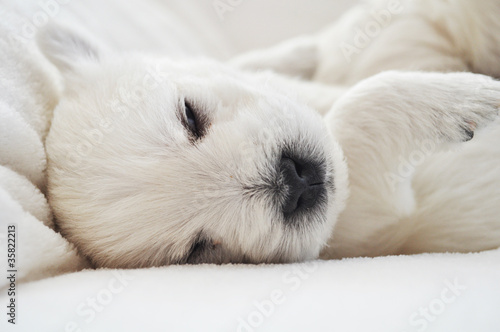 West Highland Terrier Welpen