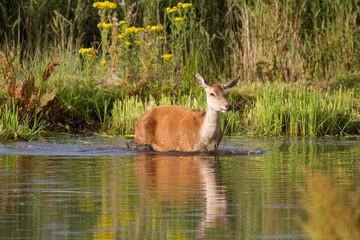 Red Deer cervus elaphus wading, Leighton Moss, Lancashire