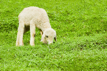 Baby sheep in a pasture of green grass