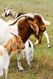 Billy goat with nanny goats bred for meat poster