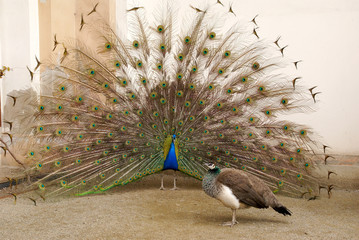 Male peacock tail spread tail-feathers