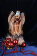 Yorkshire terrier with Christmas decoration