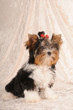 Little cute puppy of biver yorkshire terrier