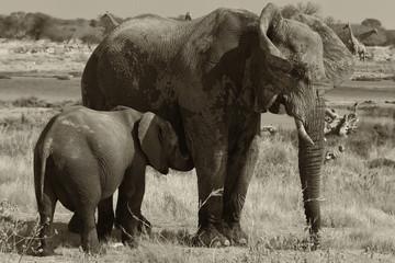 Allattamento elefante
