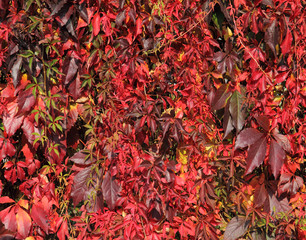 virginia creeper leaves in autumns colors