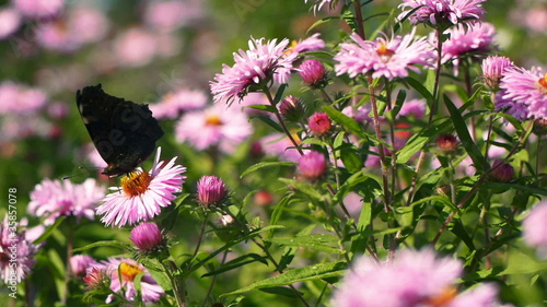 Butterfly in Pink Flowers