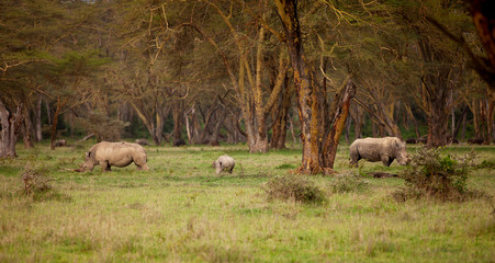 Couple of white Rhino in Lake Nakuru Africa