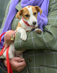 Jack Russell Terrier puppy being cradled