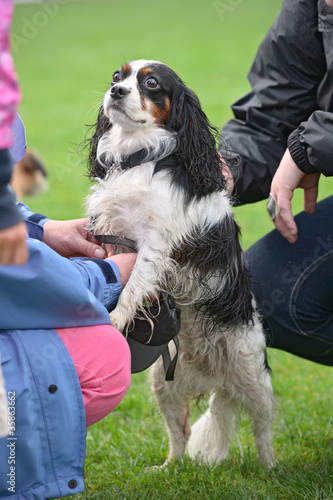 Tricolour Cavalier King Charles Spaniel, standing up