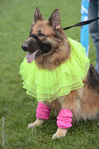 Alsatian in ballet dancing fancy dress