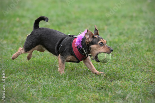 Wire haired dachshund, running, fetching a ball