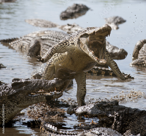 Attack crocodile