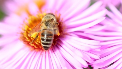 Bee - Busy on Violet Aster Blossom