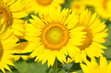 Fototapeta Asteraceae - słonecznik - Kwiat