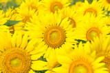 Fototapeta słonecznik - lato - Kwiat