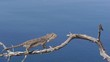 Camaleon en rama seca