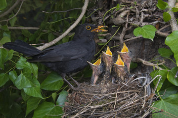 male blackbird (Turdus merula) at nest with chicks