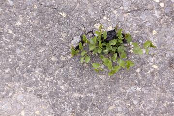 Grünpflanze durchbricht Asphaltdecke