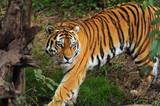 Fototapeta tygrys - bezdroża - Dziki Ssak