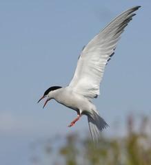 Tern in flight