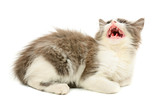 Grey and white meow kitten poster