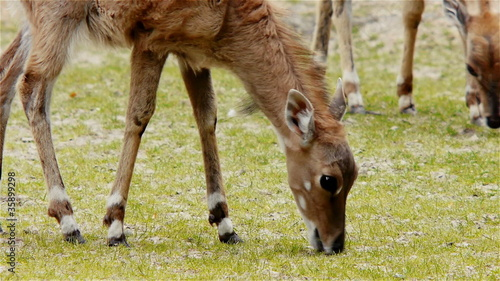 Antelopes Eating Grass