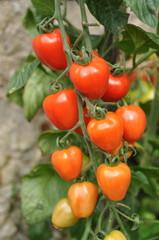 grappe de tomates cerises 'tomato Berry'