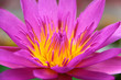 Close-up of a pink water lily flower