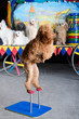 Red poodle standing on his back paws